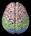 Cerebral_lobes