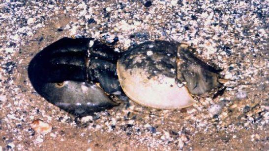 Horseshoe_crab_pair